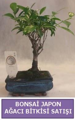 İthal Bonsai japon ağacı bitkisi satışı  Tunceli çiçek online çiçek siparişi