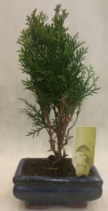 SINIRLI SAYIDA ÜRÜN Selvi Bonsai  Tunceli çiçek online çiçek siparişi