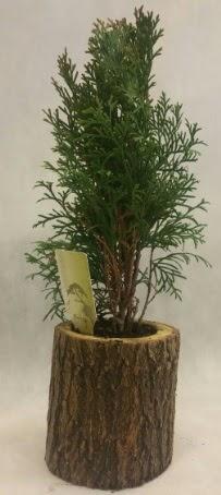 SINIRLI STOK Selvi Bonsai Doğal kütükte  Tunceli çiçek online çiçek siparişi