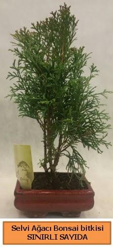 Selvi ağacı bonsai japon ağacı bitkisi  Tunceli yurtiçi ve yurtdışı çiçek siparişi