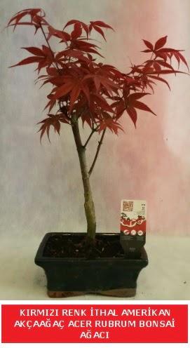 İTHAL ACER RUBRUM BONSAİ AĞACI  Tunceli çiçek servisi , çiçekçi adresleri