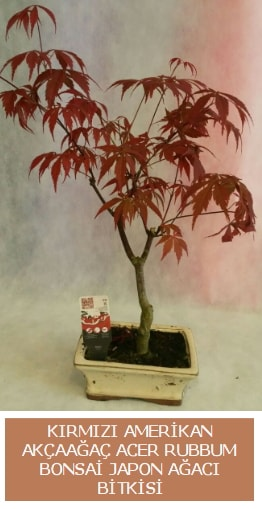 Amerikan akçaağaç Acer Rubrum bonsai  Tunceli çiçek siparişi sitesi