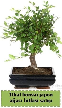 İthal bonsai saksı çiçeği Japon ağacı satışı  Tunceli çiçek online çiçek siparişi
