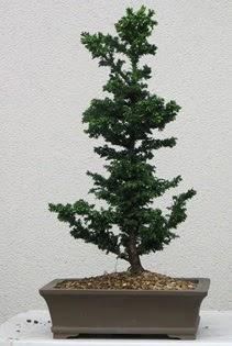 Çam ağacı bonsai bitkisi satışı  Tunceli güvenli kaliteli hızlı çiçek
