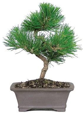 Çam ağacı bonsai japon ağacı bitkisi  Tunceli kaliteli taze ve ucuz çiçekler