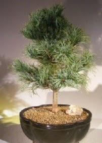 Çam ağacı bonsai bitkisi satışı  Tunceli çiçek yolla , çiçek gönder , çiçekçi