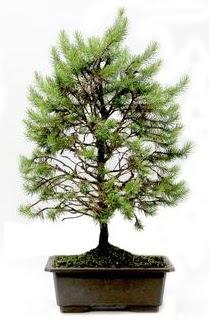 *** STOKTA YOK - Çam ağacı bonsai bitkisi satışı  Tunceli çiçekçi mağazası
