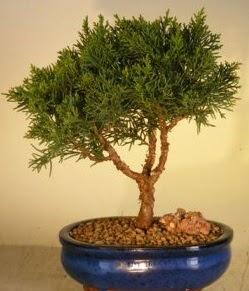 Servi çam bonsai japon ağacı bitkisi  Tunceli çiçek mağazası , çiçekçi adresleri