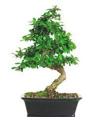 Bonsai bitkisi satışı  Tunceli güvenli kaliteli hızlı çiçek