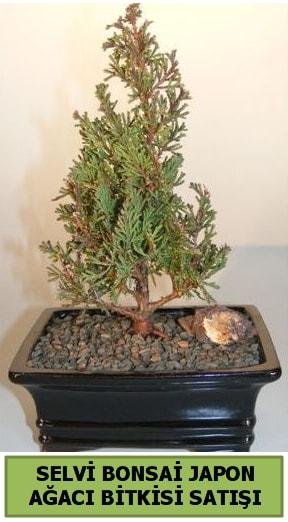 Selvi çam japon ağacı bitkisi bonsai  Tunceli güvenli kaliteli hızlı çiçek