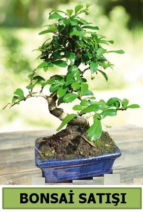 Çam bonsai japon ağacı satışı  Tunceli yurtiçi ve yurtdışı çiçek siparişi