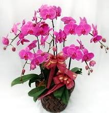 Sepet içerisinde 5 dallı lila orkide  Tunceli çiçek yolla , çiçek gönder , çiçekçi