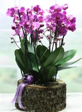 Kütük içerisinde 6 dallı mor orkide  Tunceli çiçek yolla , çiçek gönder , çiçekçi