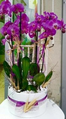 Seramik vazoda 4 dallı mor lila orkide  Tunceli ucuz çiçek gönder