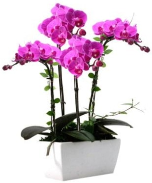 Seramik vazo içerisinde 4 dallı mor orkide  Tunceli yurtiçi ve yurtdışı çiçek siparişi