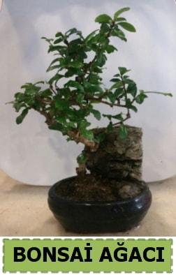Bonsai ağacı japon ağacı satışı  Tunceli İnternetten çiçek siparişi