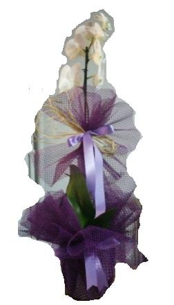 Tek dallı beyaz orkide süper kalite ithal  Tunceli çiçek yolla