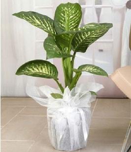 Tropik saksı çiçeği bitkisi  Tunceli yurtiçi ve yurtdışı çiçek siparişi