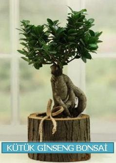 Kütük ağaç içerisinde ginseng bonsai  Tunceli çiçek servisi , çiçekçi adresleri