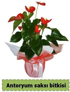 Antoryum saksı bitkisi satışı  Tunceli online çiçekçi , çiçek siparişi