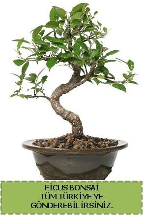 Ficus bonsai  Tunceli çiçek servisi , çiçekçi adresleri