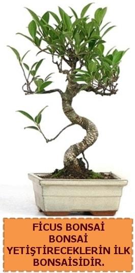 Ficus bonsai 15 ile 25 cm arasındadır  Tunceli çiçek mağazası , çiçekçi adresleri