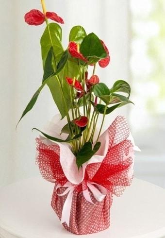 Anthurium Saksı Çiçeği  Tunceli İnternetten çiçek siparişi