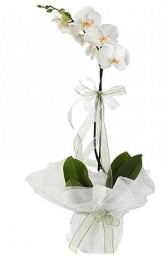 Tekli Beyaz Orkide  Tunceli İnternetten çiçek siparişi