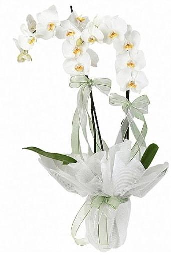 Çift Dallı Beyaz Orkide  Tunceli çiçekçiler