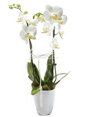 2 dallı beyaz seramik beyaz orkide saksısı  Tunceli çiçek servisi , çiçekçi adresleri