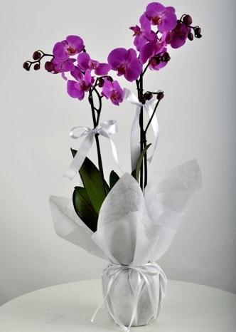 Çift dallı saksıda mor orkide çiçeği  Tunceli çiçek , çiçekçi , çiçekçilik