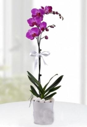 Tek dallı saksıda mor orkide çiçeği  Tunceli çiçekçi telefonları