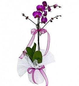 Tek dallı saksıda ithal mor orkide çiçeği  Tunceli çiçekçi telefonları