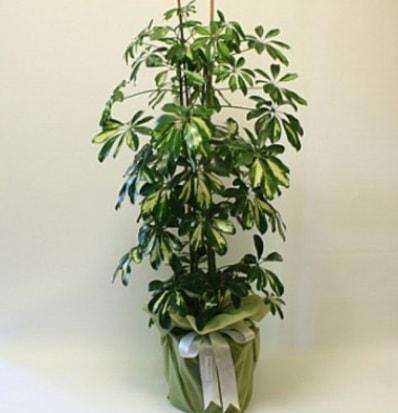 Şeflera salon bitkisi  Tunceli kaliteli taze ve ucuz çiçekler