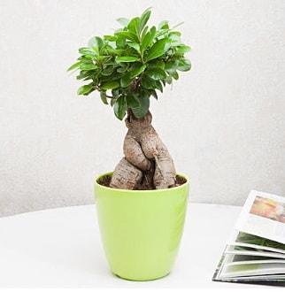 Ficus Ginseng Bonsai  Tunceli internetten çiçek satışı