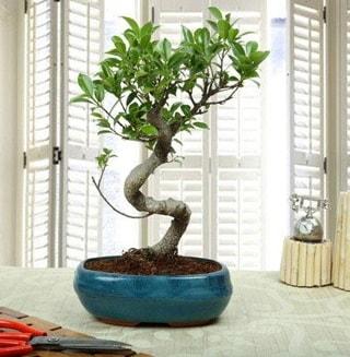 Amazing Bonsai Ficus S İthal  Tunceli çiçek satışı