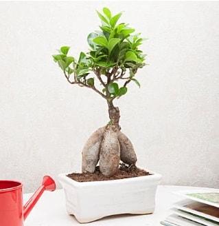 Exotic Ficus Bonsai ginseng  Tunceli online çiçek gönderme sipariş