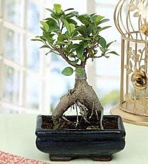 Appealing Ficus Ginseng Bonsai  Tunceli çiçekçiler