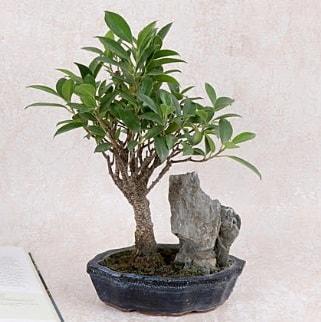 Japon ağacı Evergreen Ficus Bonsai  Tunceli çiçek servisi , çiçekçi adresleri