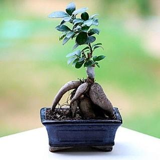 Marvellous Ficus Microcarpa ginseng bonsai  Tunceli çiçek , çiçekçi , çiçekçilik