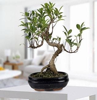 Gorgeous Ficus S shaped japon bonsai  Tunceli 14 şubat sevgililer günü çiçek