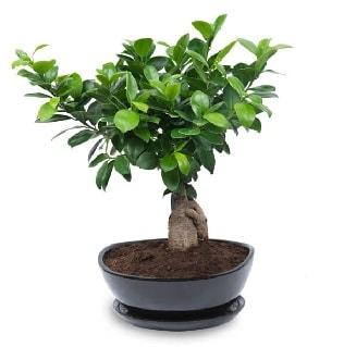 Ginseng bonsai ağacı özel ithal ürün  Tunceli çiçek gönderme