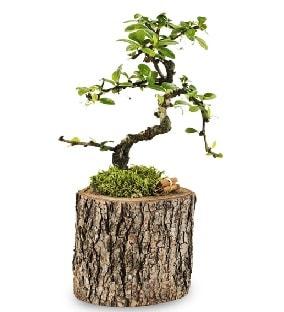 Doğal kütükte S bonsai ağacı  Tunceli yurtiçi ve yurtdışı çiçek siparişi