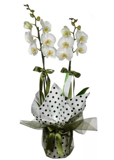Çift Dallı Beyaz Orkide  Tunceli internetten çiçek satışı