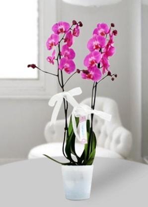 Çift dallı mor orkide  Tunceli çiçekçi telefonları