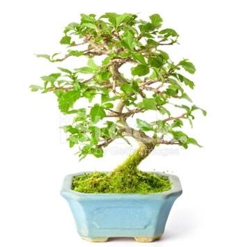 S zerkova bonsai kısa süreliğine  Tunceli çiçek online çiçek siparişi