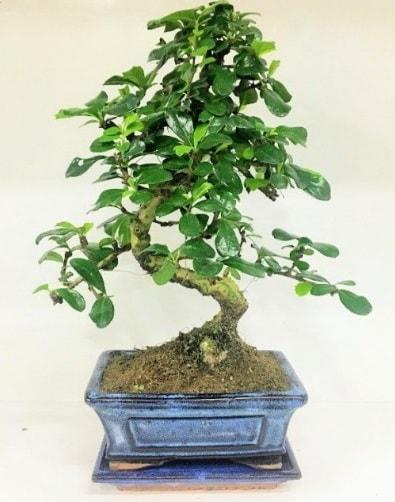 S Bonsai japon ağacı bitkisi  Tunceli çiçek siparişi sitesi