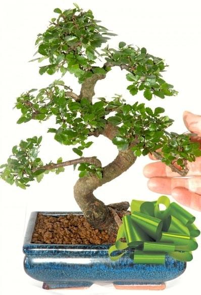Yaklaşık 25 cm boyutlarında S bonsai  Tunceli çiçek yolla