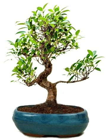 25 cm ile 30 cm aralığında Ficus S bonsai  Tunceli çiçek servisi , çiçekçi adresleri