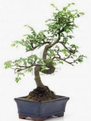 S gövde bonsai minyatür ağaç japon ağacı  Tunceli yurtiçi ve yurtdışı çiçek siparişi